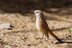 Kalahari scrub robin walking on sand in the sun Royalty Free Stock Image