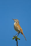 Kalahari Sfregare-Robin (Robin) si è appollaiata contro cielo blu Fotografie Stock Libere da Diritti