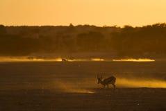 Kalahari solnedgång med springbocken Arkivbild