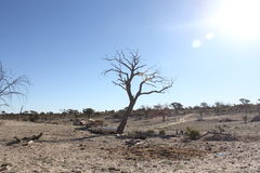 Kalahari Tree Royalty Free Stock Photos