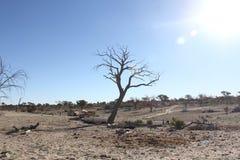 Kalahari Tree. A tree bears the heat of a relentless sun Royalty Free Stock Photos