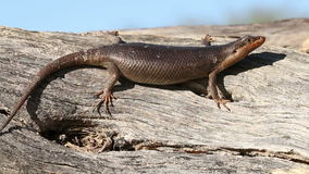 Kalahari tree skink Stock Photos