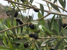 Free Kalamata Olive Or Olea Europaea In Heraklion Crete Greece Stock Image - 107093911