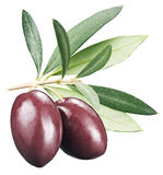 Kalamata olives with leaves on a white background. Stock Photos