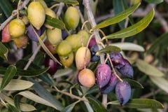 Kalamata olives on olive tree branch. Closeup of kalamata olives on olive tree branch Royalty Free Stock Photos