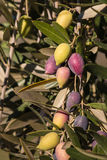 Kalamata olives ripening on tree Royalty Free Stock Photos
