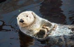 Kalan Overzeese otter in water royalty-vrije stock fotografie