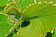 Kalanchoe叶子的打旋的作用 免版税图库摄影