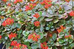 Kalanchoe红色花绽放在庭院里 图库摄影