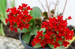 Kalanchoe - να φλεθεί katy, Χριστούγεννα kalanchoe ή λουλούδι τύχης Στοκ εικόνες με δικαίωμα ελεύθερης χρήσης