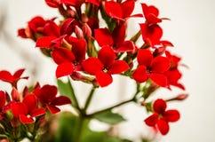 Kalanchoe - να φλεθεί katy, Χριστούγεννα kalanchoe ή λουλούδι τύχης Στοκ φωτογραφίες με δικαίωμα ελεύθερης χρήσης