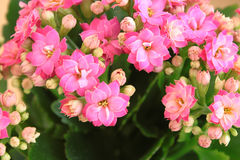 Kalanchoe. Stock Photos