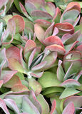 Kalanchoe Photo stock