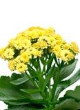 Kalanchoe. Yellow kalanchoe flowers close-up Royalty Free Stock Photography