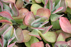 Kalanchoe Photos stock
