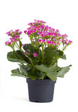 Kalanchoe Photographie stock
