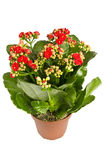 Kalanchoe. Royalty Free Stock Photos