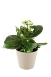 Kalanchoe. Close up of homemade pot plant - Kalanchoe with white flowers. Isolated on a white background stock photos