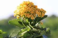 Kalanchoe amarelo Imagem de Stock Royalty Free
