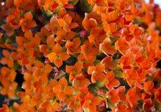 Kalanchoe background. Orange background of Kalanchoe plant Royalty Free Stock Images
