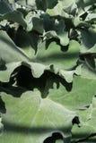 kalanchoe beharensis景天科背景植物结构设计叶子  图库摄影