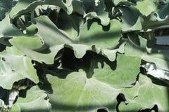 kalanchoe beharensis景天科背景植物结构设计叶子  免版税库存图片