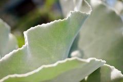 Kalanchoe Beharensis. Detail of a Kalanchoe Beharensis Stock Photos