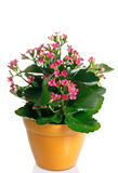 kalanchoe blühende Pflanze im Topf Stockfotografie