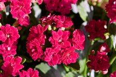 Kalanchoe blomma Arkivfoto