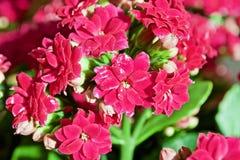 Kalanchoe blomma Arkivbild