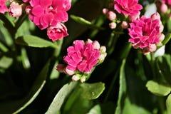 Kalanchoe blomma Fotografering för Bildbyråer