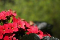 Kalanchoe blomma Arkivfoton