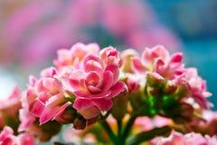 Kalanchoe blommablomningar Royaltyfri Bild