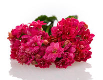 Kalanchoe blooming branch Stock Photography