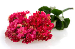 Kalanchoe blooming branch Royalty Free Stock Photos