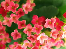 Kalanchoe blooms. A close up of a group of kalanchoe blooms Royalty Free Stock Photography