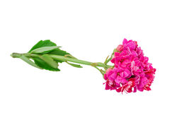 Kalanchoe blooms Royalty Free Stock Image