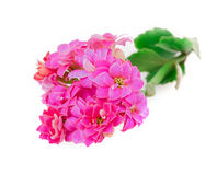 Kalanchoe blooms Stock Photo