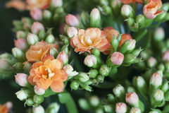 Kalanchoe Royalty Free Stock Images