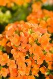 Kalanchoe blossfeldiana Stock Images