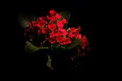 Kalanchoe blossfeldiana Fotografia Stock Libera da Diritti