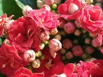Kalanchoe blossfeldiana Immagine Stock Libera da Diritti