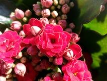 Kalanchoe Blossfeldiana Stockfotografie