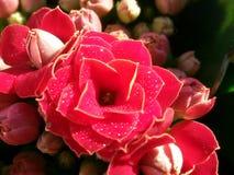 Kalanchoe Blossfeldiana 库存照片