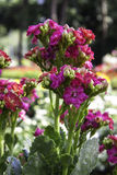 Kalanchoe Blossfeldiana Imagen de archivo