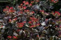 Kalanchoe Blossfeldiana Royalty-vrije Stock Afbeeldingen