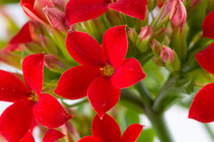 Kalanchoe blossfeldiana Royalty Free Stock Photography