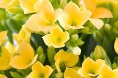 Kalanchoe blossfeldiana Royalty Free Stock Photos
