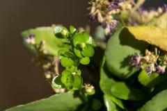 Kalanchoe Blossfeldiana Royaltyfria Bilder