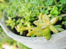 Kalanchoe Blossfeldiana Photographie stock libre de droits